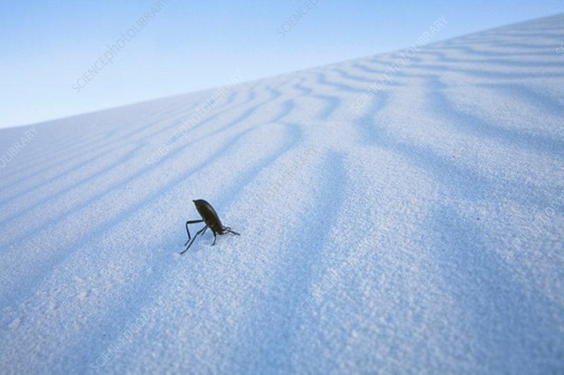 Darkling Beetle on sand