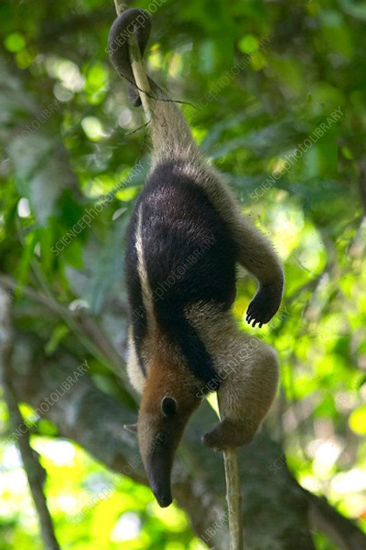 Northern Tamandua climbing tree