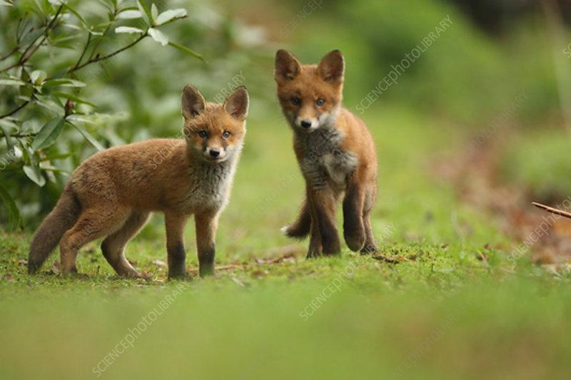 Red fox cubs, Hertfordshire, UK