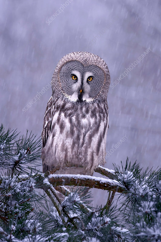 Great grey owl perched in pine tree in snowfall
