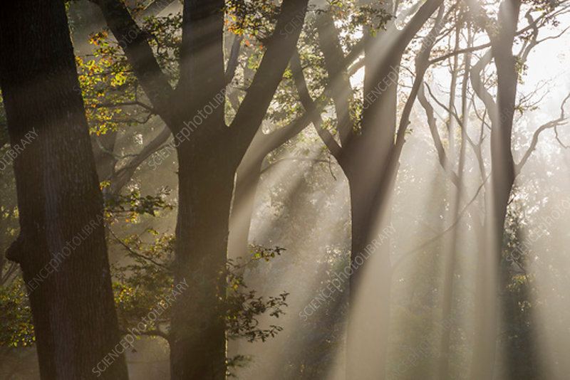 Rays of sunlight penetrating woodland