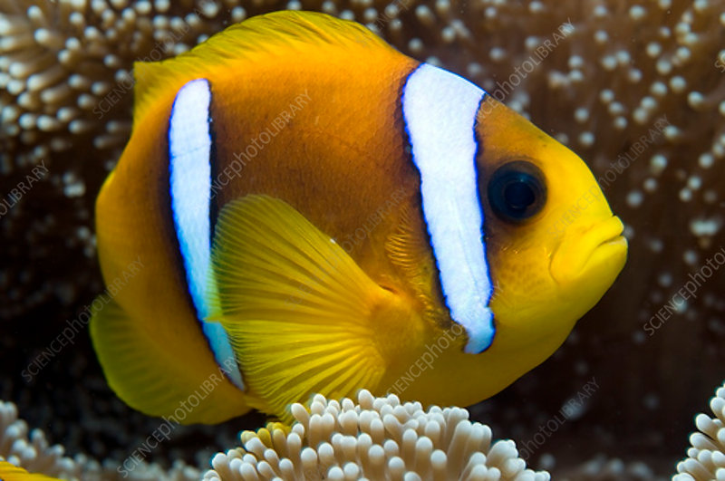 Red Sea anemonefish in sea-anemone, Red Sea