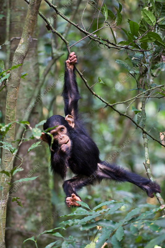 Chimpanzee infant playing in tree