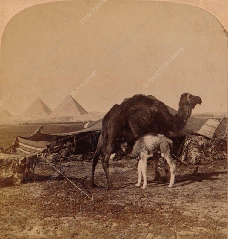 A Baby of the Desert, Egypt, 1896