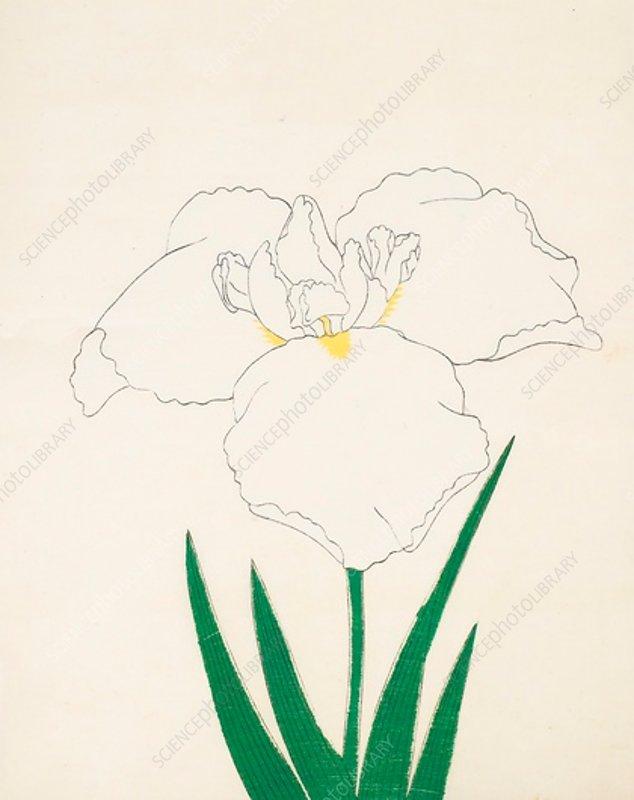 Hatsu-Shimo, No 6, 1890, colour woodblock print