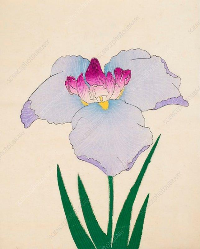 Hoshi-Zukiyo, No 45, 1890, colour woodblock print