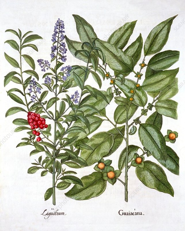 Guaiacum and Chinese Privet, from 'Hortus Eystettensis'