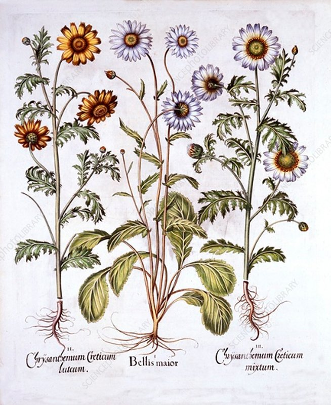 Oxe Eye Daisy and Crown Daisy, from 'Hortus Eystettensis'