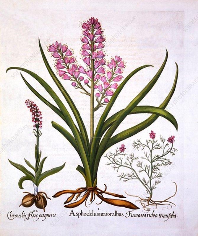 Asphodel, Burnt Orchid and Fumaria Spicata