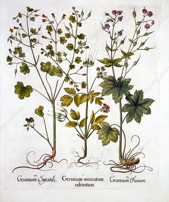 Hardy Geraniums, from 'Hortus Eystettensis'