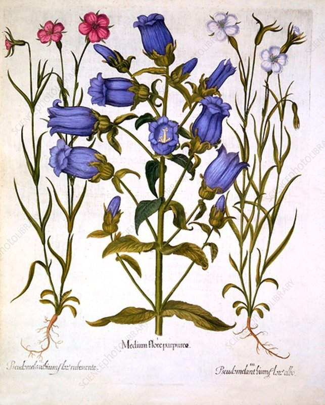 Canterbury Bells, and Corn Cockles