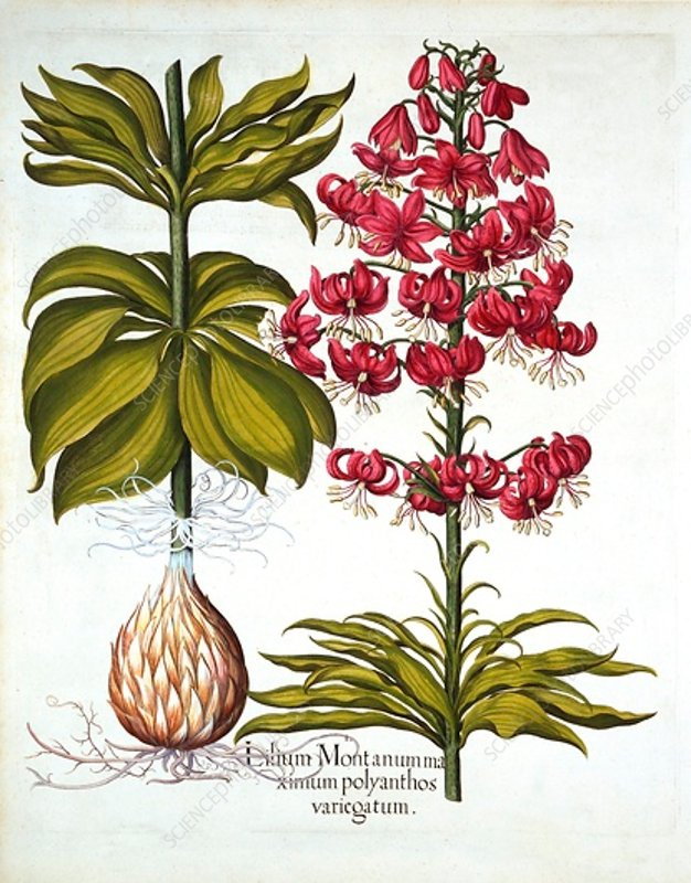 Turk's Cap Lily, from 'Hortus Eystettensis'