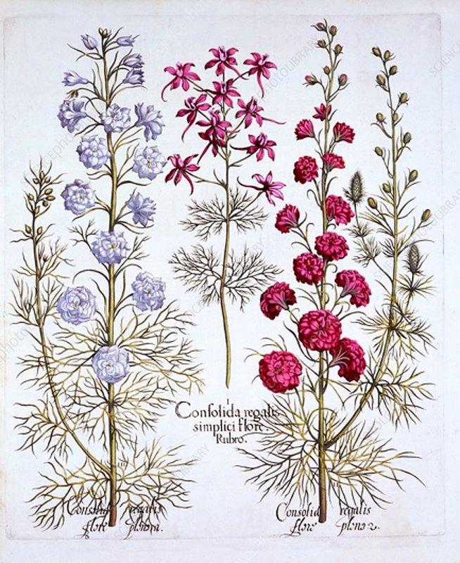 Varieties of Larkspur, from 'Hortus Eystettensis'