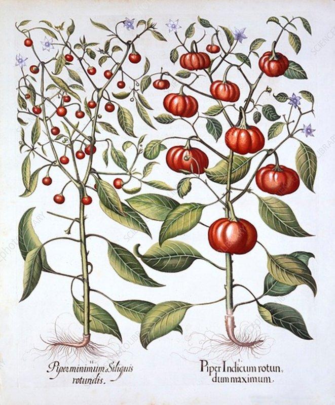 Chili Pepper, from 'Hortus Eystettensis'
