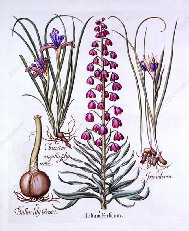 Persian Lily and Irises, from 'Hortus Eystettensis'
