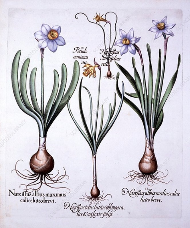 Various Narcissi, from 'Hortus Eystettensis'