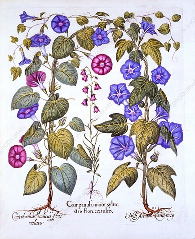 Harebell and Convovulus, from 'Hortus Eystettensis'