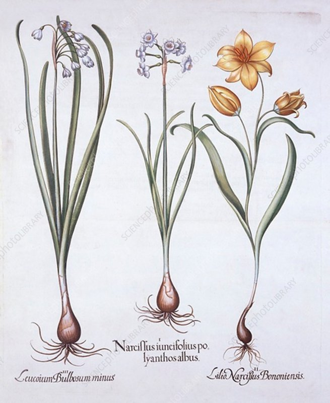 Narcissus, Tulip and Summer Snowflake