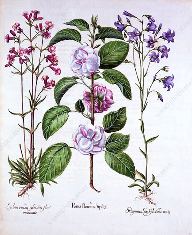 Double Flowered Apple, German Catch-Fly and a Bellflower