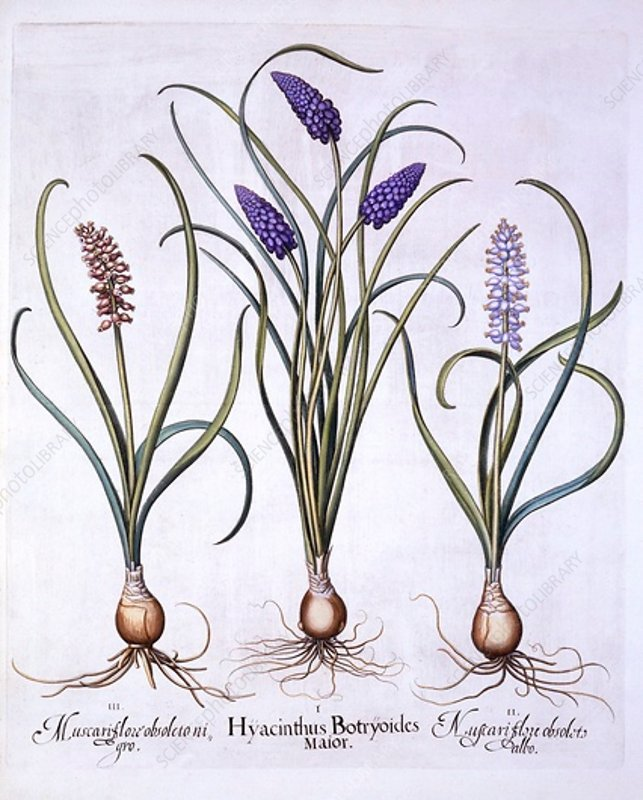 Grape Hyacinths, from 'Hortus Eystettensis'