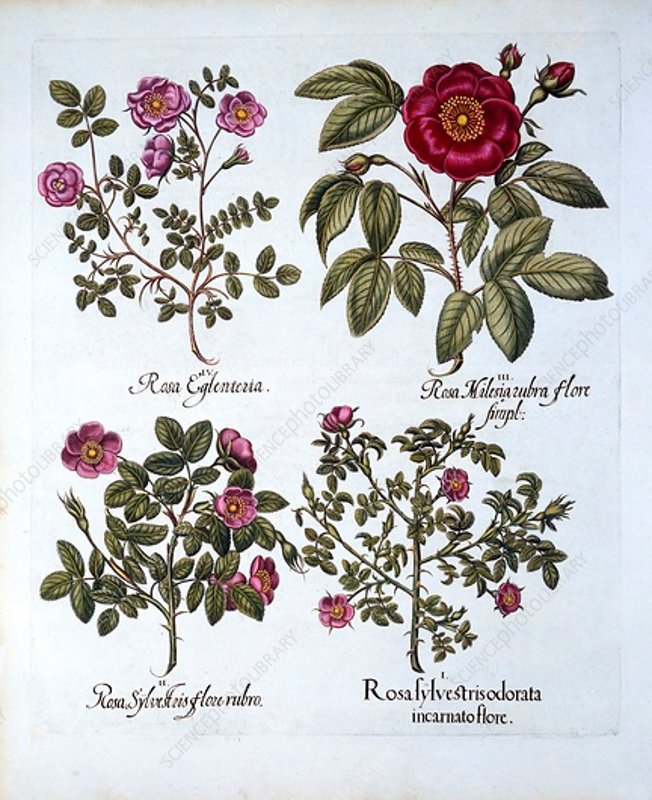 Four variets of Dog Rose, from 'Hortus Eystettensis'