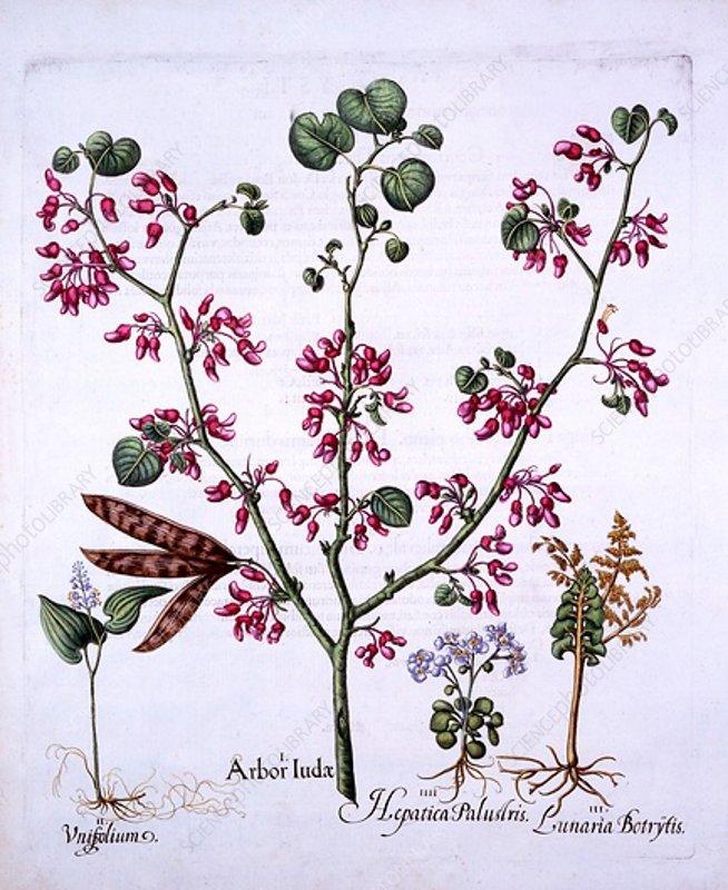 Judas Tree, May Lily, Moonwort, Liverwort