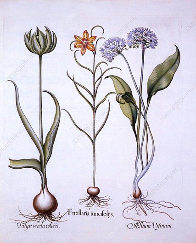 Snake's Head Fritillary, Wild Garlic and Tulip