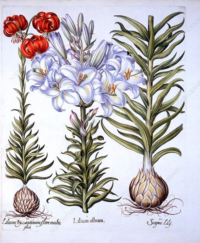 Madonna Lily and Bulb, Red Martagon of Constantinople