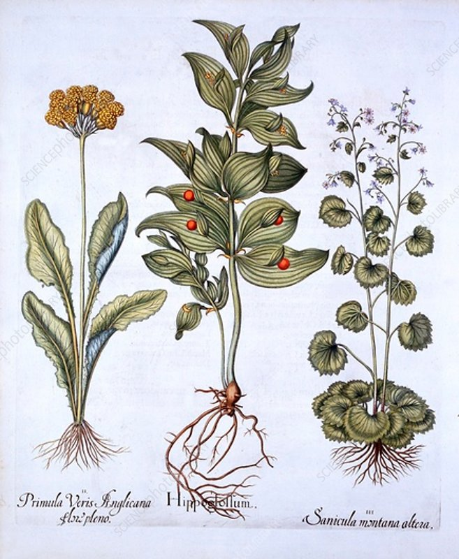 Hippoglossum, Cowslip and Snakeroot
