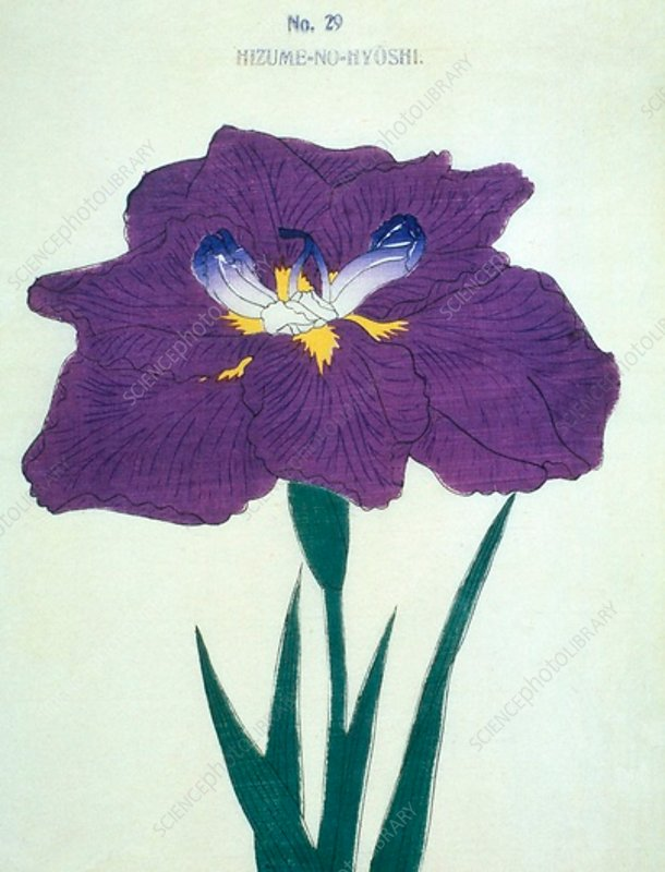 Japanese iris, illustration