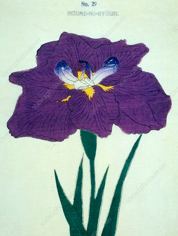 Japanese iris, illustration