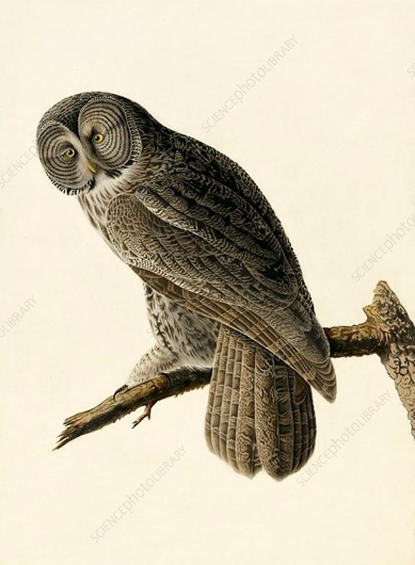 Great Cinereous Owl, Strix Nebulosa, 1845