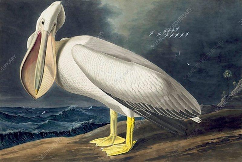 American White Pelican, Pelecanus Erythrorhynchos, 1845