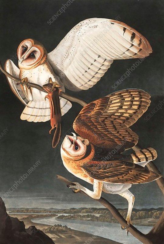 Barn Owl, Tyto Alba, 1845