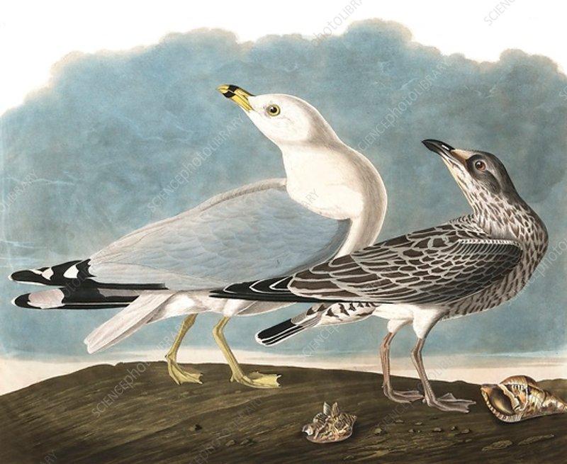 Ring-Billed Gull, Larus Delawarensis, 1845