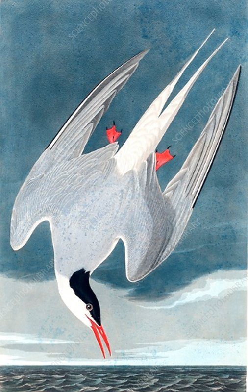 Arctic Tern, Sterna Paradisaea, 1845