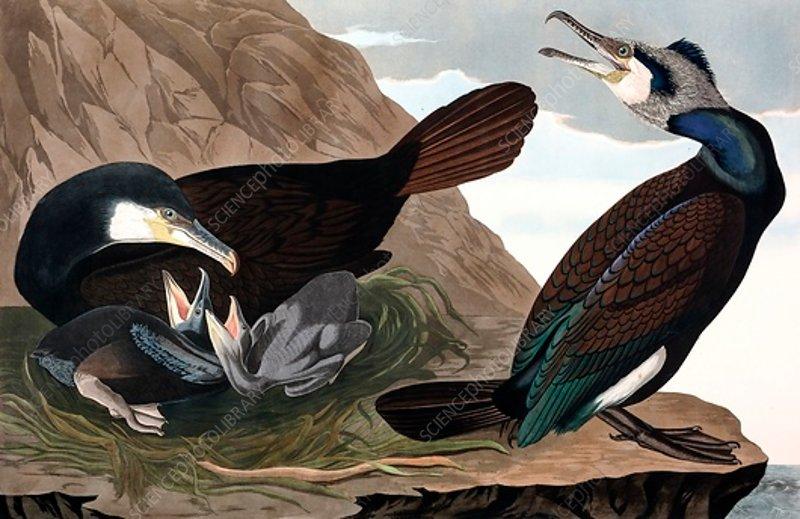 Common Cormorant, Phalacrocorax Carbo, 1845