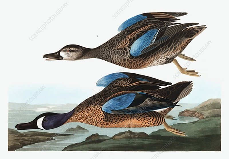 Blue Winged Teal, Anas Discors, 1845