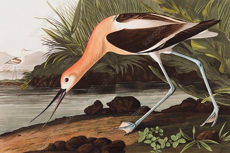 American Avocet, Recurvirostra Americana, 1845