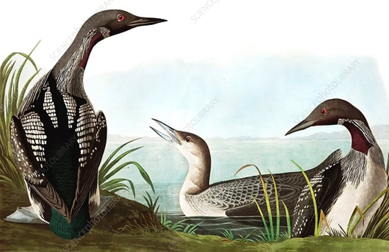 Black Throated Diver, Colymbus Arcticus, 1845