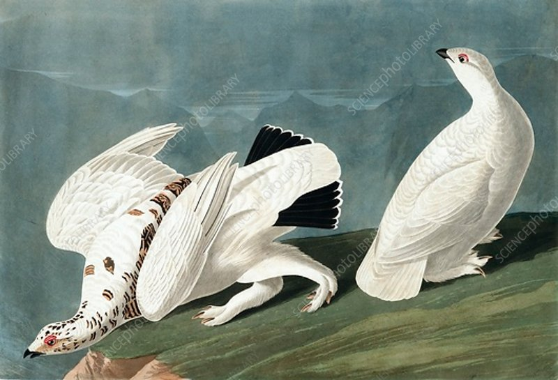 American Ptarmigan, and White Tailed Grouse
