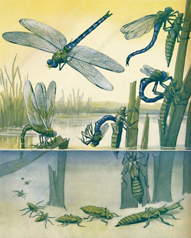 The Beautiful Dragonfly's Life Story, 1935
