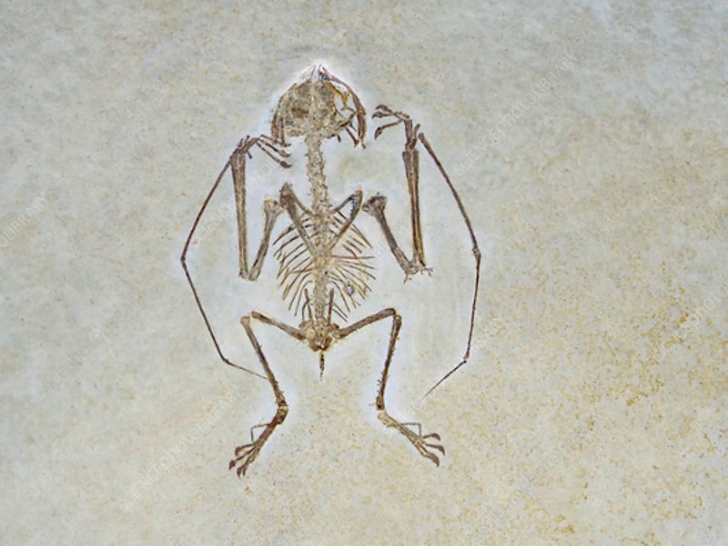 Jurassic flying reptile fossil