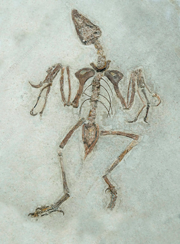 Archaeornithes reptile-like bird fossil