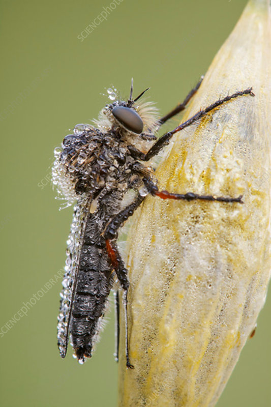 Slender-footed Robberfly