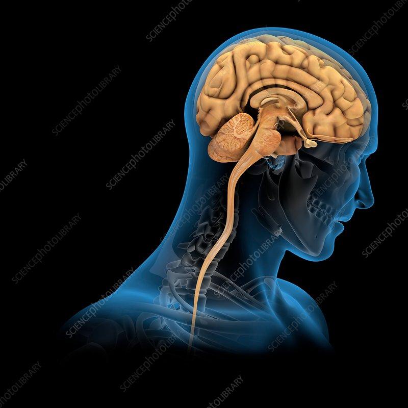 Brain and skull anatomy, illustration