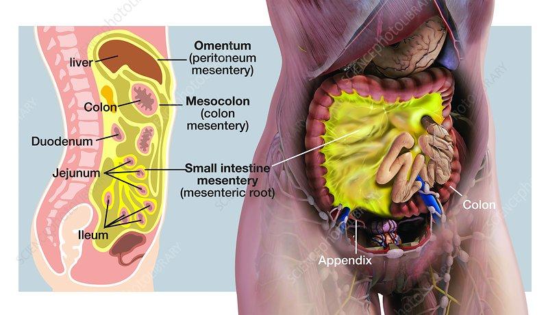 Mesentery anatomy, illustration