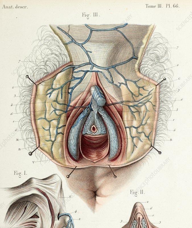 Anatomy of the female orgasim