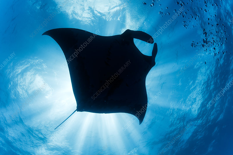 Giant manta ray seen from below