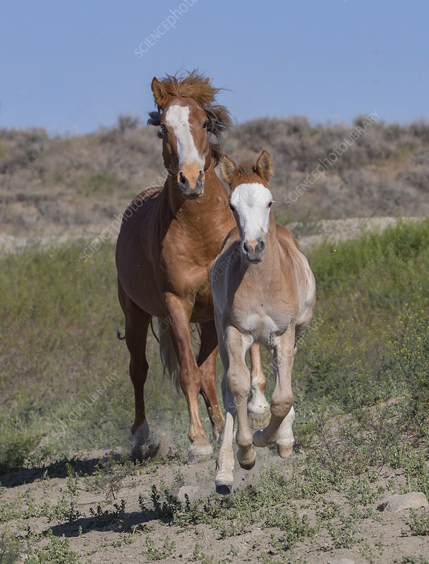 Wild pinto Mustang mare and foal running